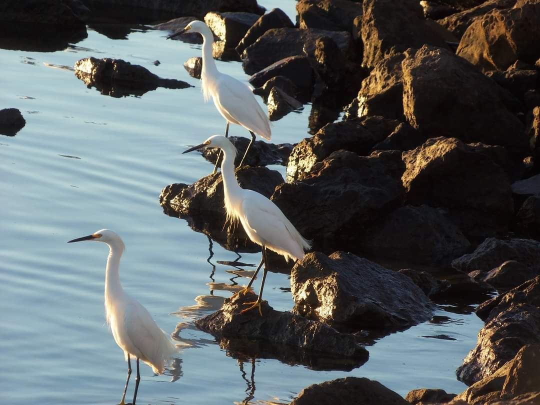3 Snowy Egret Channel Islands Harbor