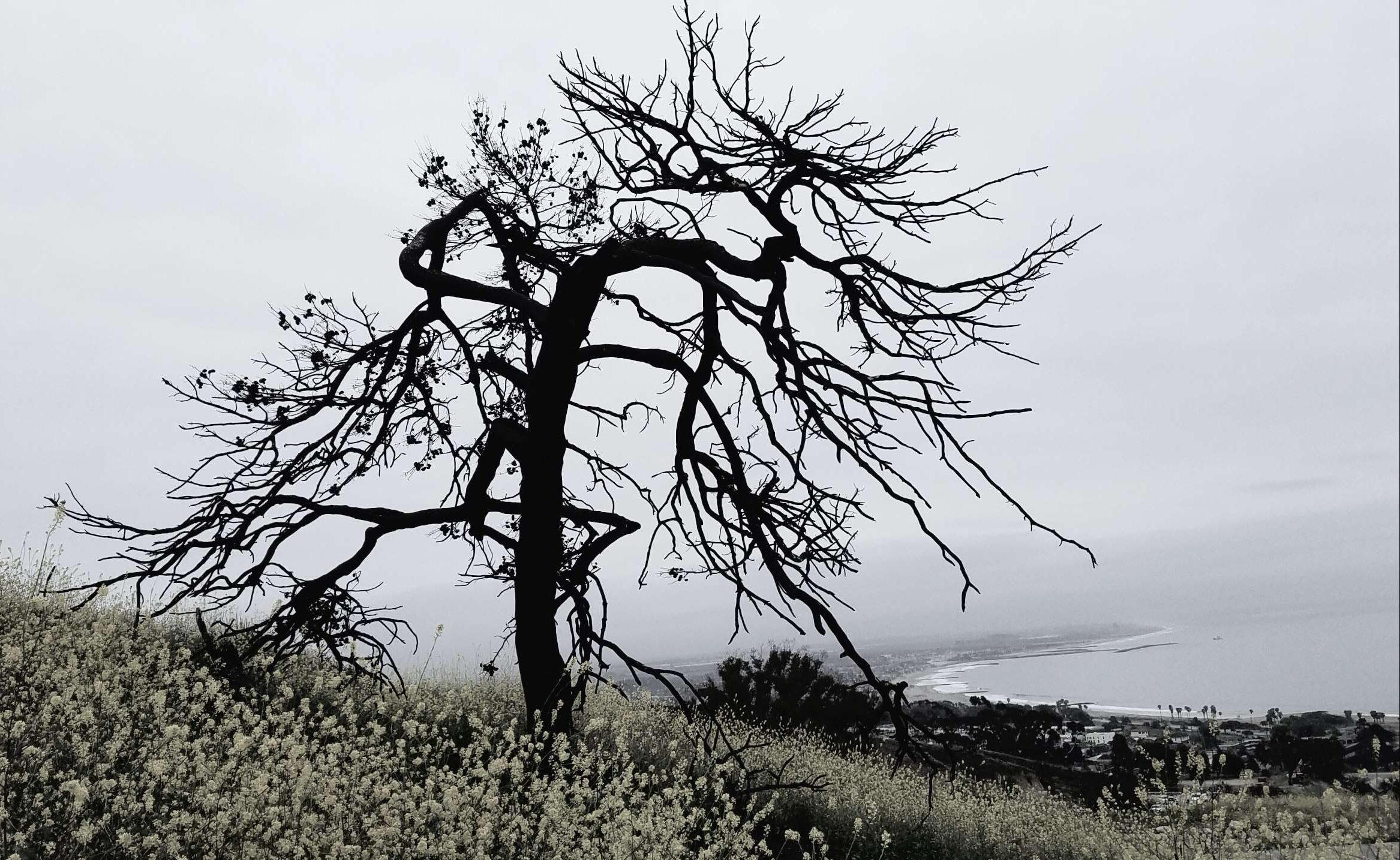 Dragon Tree